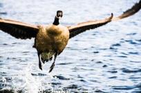 58b56-duck3