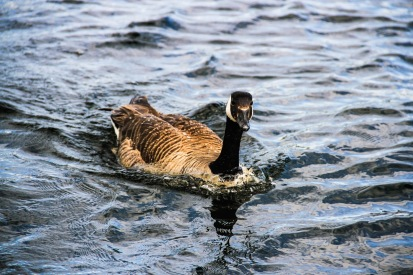 9911a-duck