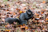 I can bet nothing's cuter than a feeding black squirrel.